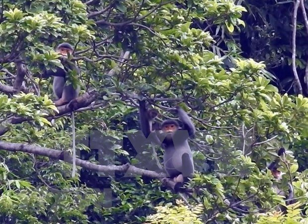 广南省将成立灰腿白臀叶猴保护区 hinh anh 1