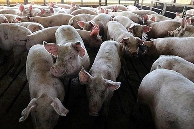 非洲猪瘟疫情继续在老挝蔓延 hinh anh 1