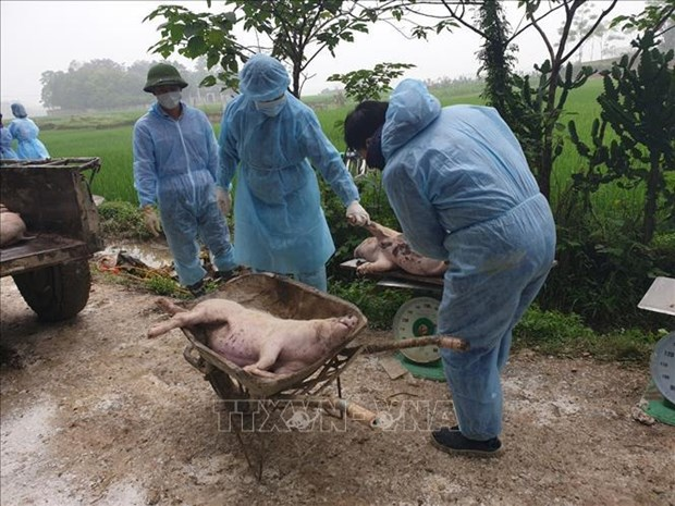 河内市非洲猪瘟疫情新增速度放缓 hinh anh 1