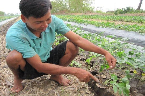 九龙江三角洲农民自主培育的西瓜种子满足日本的要求 hinh anh 1