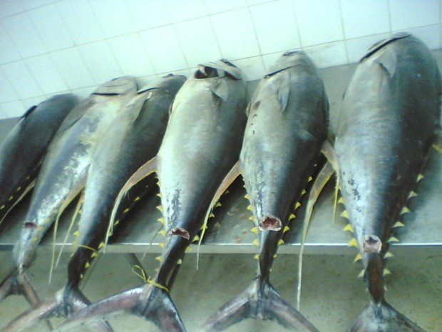 越南金枪鱼向意大利出口急剧上升 hinh anh 1