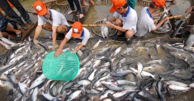 九龙江三角洲地区各省市探讨进一步促进查鱼出口的措施 hinh anh 2