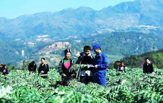 药材种植模式帮助广平省山区农民脱贫致富 hinh anh 2