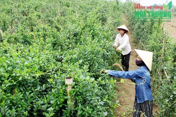 药材种植模式帮助广平省山区农民脱贫致富 hinh anh 1