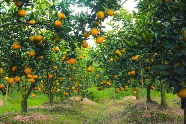 甜如蜜的兴安橙子 hinh anh 1