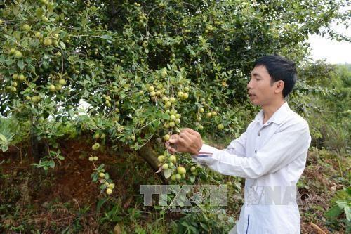 安沛省穆庚寨县集中推进山楂树种植模式 hinh anh 1