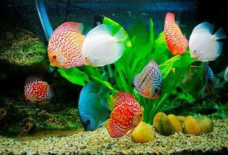 让越南观赏鱼游出国门 hinh anh 1