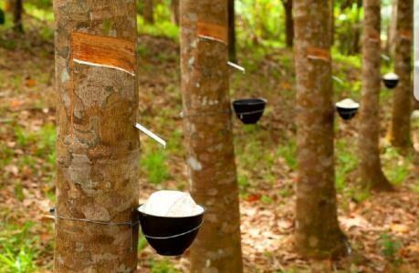 泰国成为世界第一大橡胶出口国 hinh anh 1