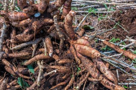 泰国将向中国出口价值为5.9亿美元的木薯产品 hinh anh 1