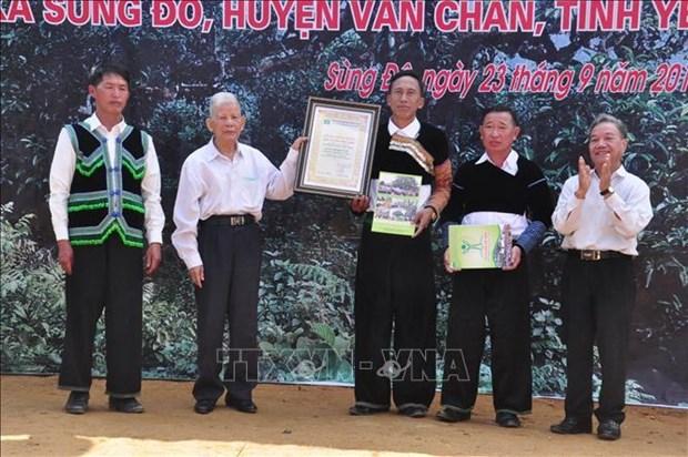 江鹏山雪茶树被列入越南遗产树名录 hinh anh 1
