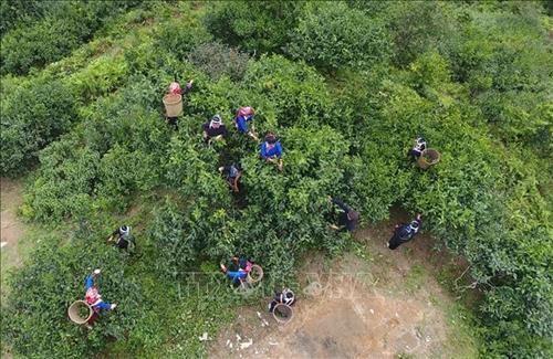 越南致力于保护河江省遗产茶树 hinh anh 1
