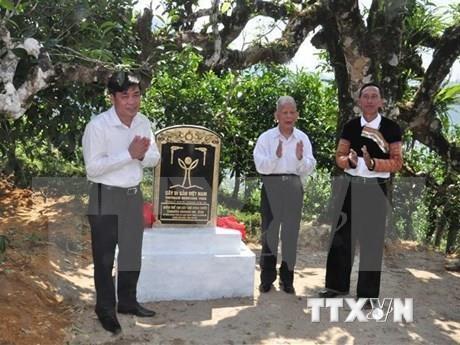 越南致力于保护河江省遗产茶树 hinh anh 2