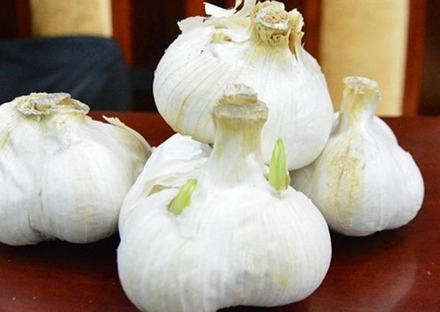 广义省采用日本大蒜种植技术 hinh anh 1