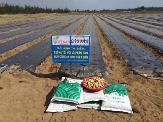 广义省采用日本大蒜种植技术 hinh anh 2