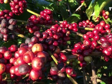 越南得乐省寻找新的发展方向提升咖啡价值 hinh anh 1