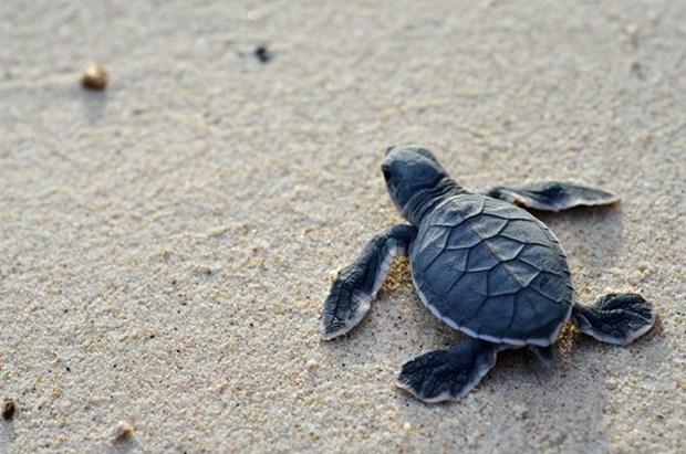 印度洋和东南亚合作加强海龟管理和养护工作 hinh anh 2