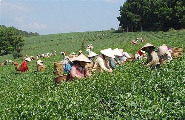 越南茶叶对中国出口平均价格猛涨 hinh anh 1