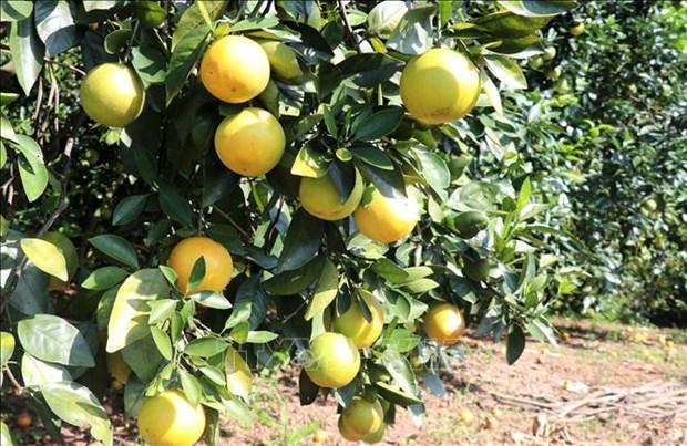 广治省有机橙子种植模式带动农民脱贫致富 hinh anh 1