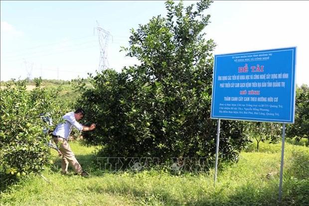 广治省有机橙子种植模式带动农民脱贫致富 hinh anh 2