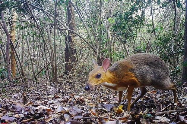 越南发现30年来疑似已经灭绝的世界上最小偶蹄动物 hinh anh 2