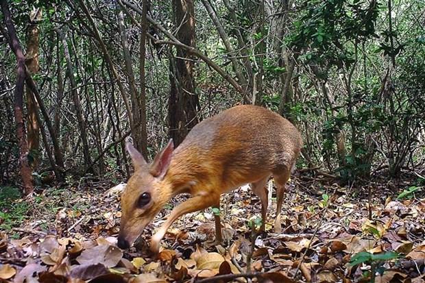 越南发现30年来疑似已经灭绝的世界上最小偶蹄动物 hinh anh 1