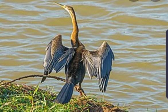 越南同奈省发现濒危动物--蛇鸟 hinh anh 1