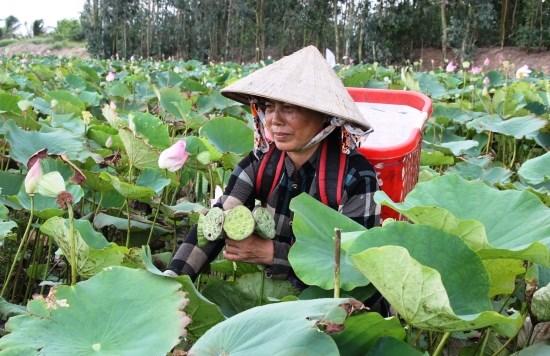 坚江省农民实现农业结构调整 广泛稻田种植莲花 hinh anh 1