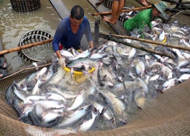 越南查鱼向马来西亚出口呈突破性增长 hinh anh 1