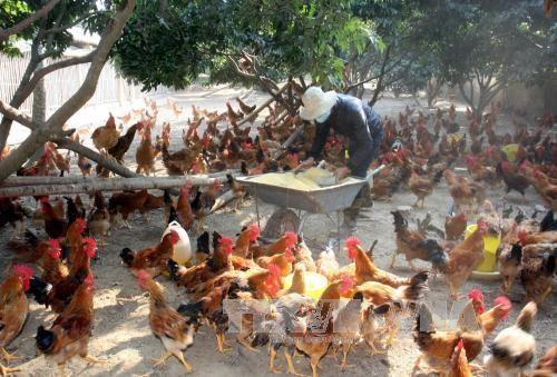 提高安世山鸡质量 走向世界市场 hinh anh 1