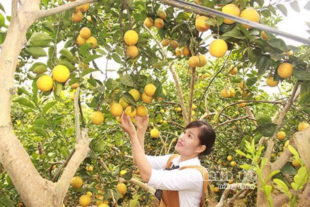 北江省注重柑桔类水果可持续发展及面向出口 hinh anh 1
