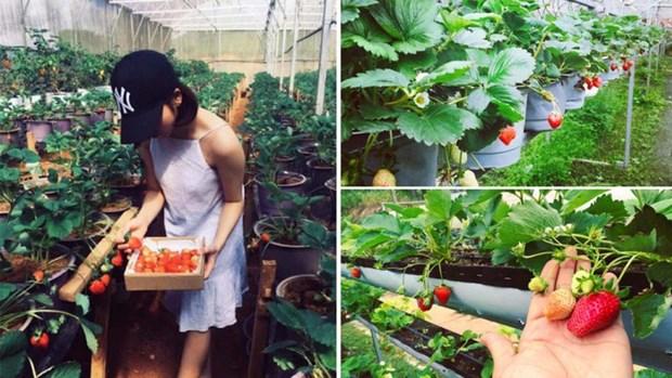 农场体验游——林同省的特色旅游产品 hinh anh 1