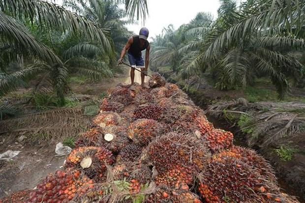 印尼与欧盟的贸易纠纷因棕榈油问题不断升级 hinh anh 1