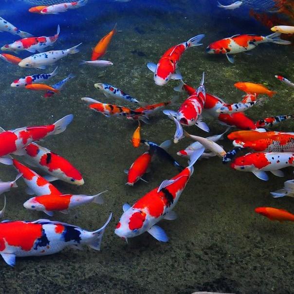 今年前11月胡志明市观赏鱼出口创汇达2100万美元 hinh anh 1