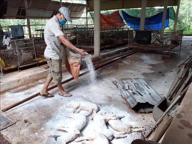 越南全国所有省市均已爆发非洲猪瘟疫情 病猪销毁量接近595万头 hinh anh 1