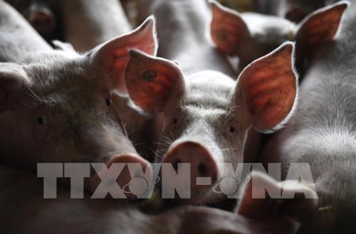 印尼官员证实爆发非洲猪瘟 hinh anh 1