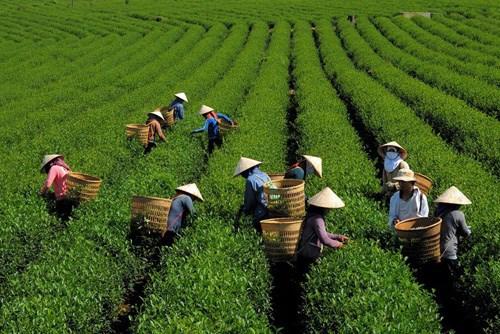 宣光省:绿色茶叶种植模式帮助居民脱贫致富 hinh anh 1