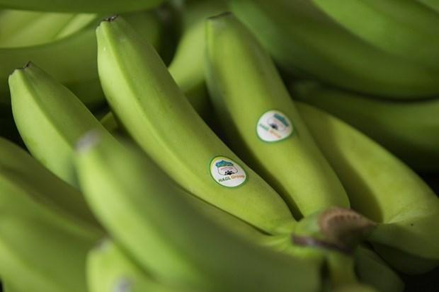 黄英嘉莱集团柬埔寨工厂向中国出口首批香蕉 hinh anh 1