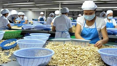 2019年越南腰果果仁出口量和未加工腰果进口量均创下新纪录 hinh anh 1
