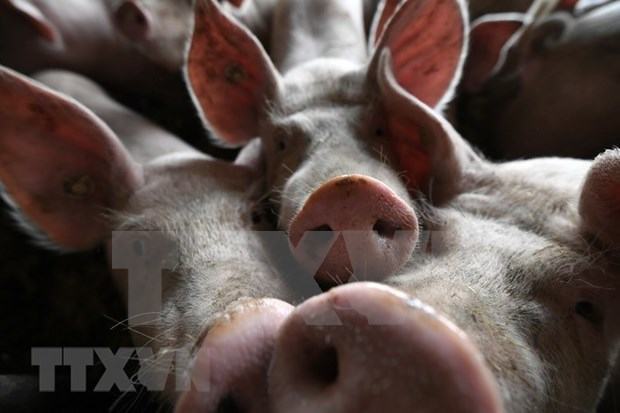 非洲猪瘟疫情继续在印尼迅速蔓延 hinh anh 1