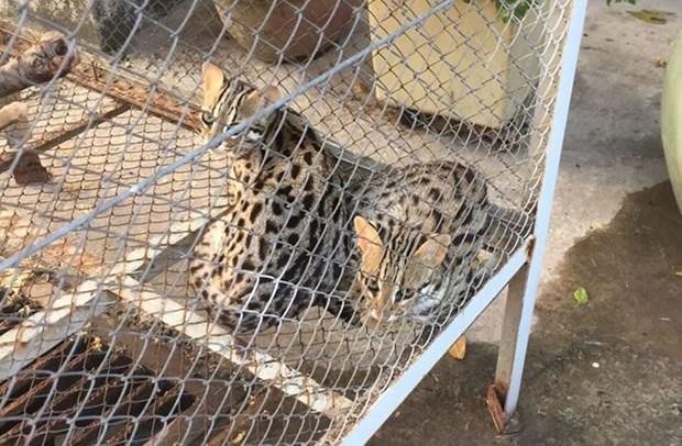 越南一个月内成功救护近50只野生动物 hinh anh 2