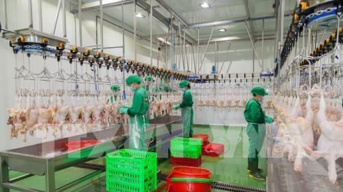 西宁省年产量500万只的家禽屠宰厂投入运行 hinh anh 1