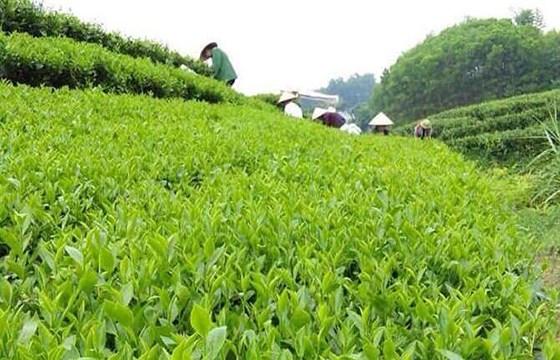 北江省致力于提高文村茶叶品牌的知名度 hinh anh 2