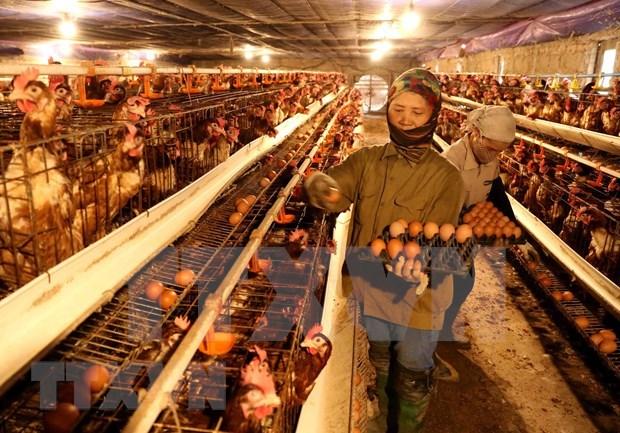 政府总理要求强化H5N1禽流感防控措施 hinh anh 1