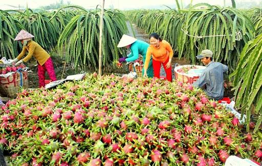 越南隆安省每日通过海路出口50吨火龙果 hinh anh 1