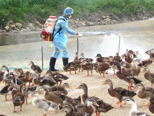 越南10个省市出现禽流感 hinh anh 1