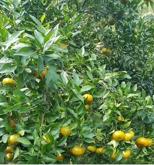 北件省果农努力将兑乡橙子打造成为地方品牌 hinh anh 1