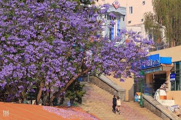 大叻市街头蓝花楹盛开 景色迷人成为一道美丽风景 hinh anh 1