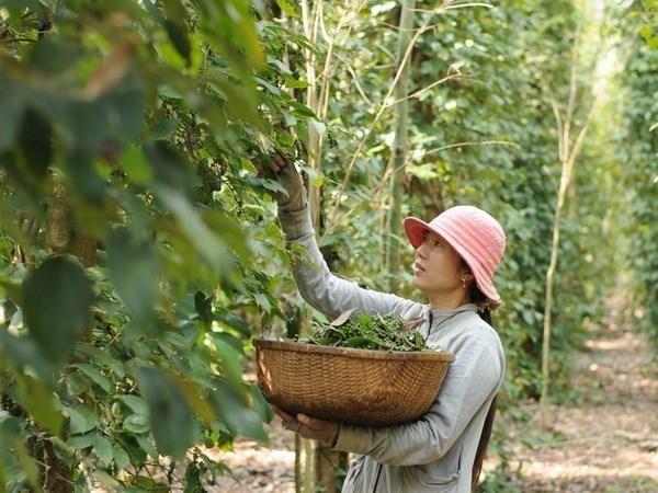 2020年2月份越南胡椒出口额环比增长25.5% hinh anh 2