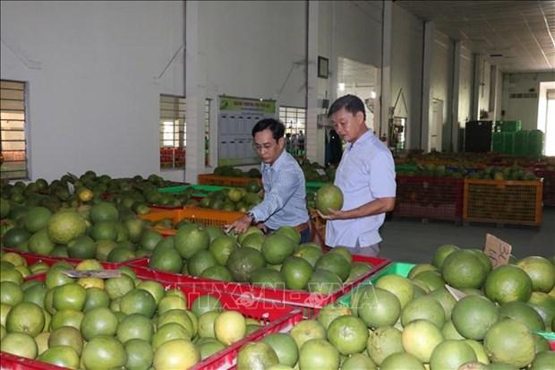 槟椥省为绿皮柚子打造生产价值链 hinh anh 1