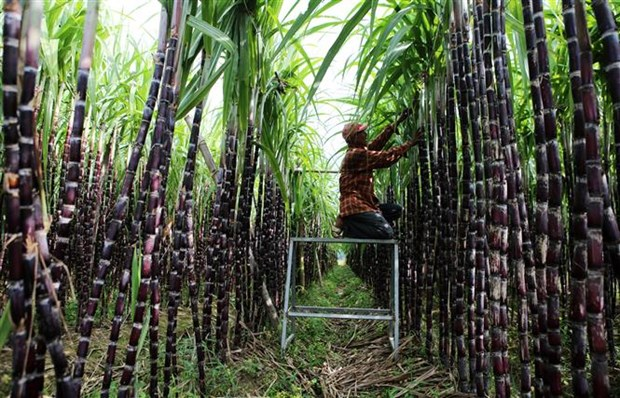 政府总理要求为越南甘蔗制糖业化解困难 hinh anh 1